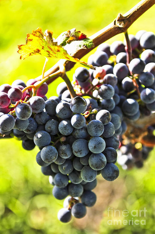 Red Art Print featuring the photograph Purple Grapes by Elena Elisseeva