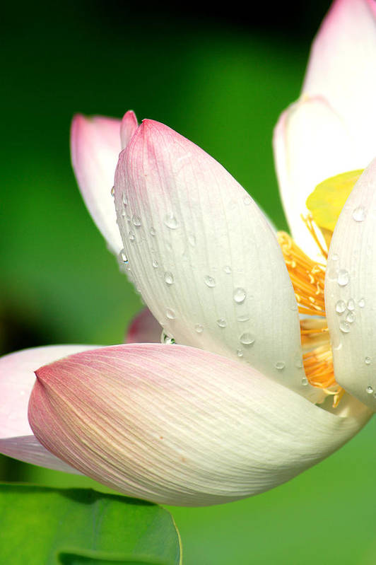 Pink Art Print featuring the photograph Raindrops On Pink Lotus Petals by Steeve Dubois