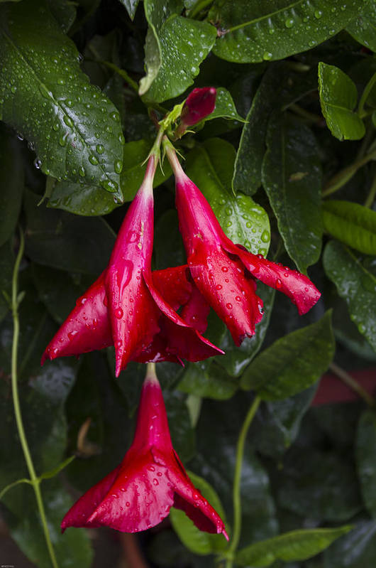 Flower Art Print featuring the photograph Red Fuschia Buds In The Rain. by Randy Roark