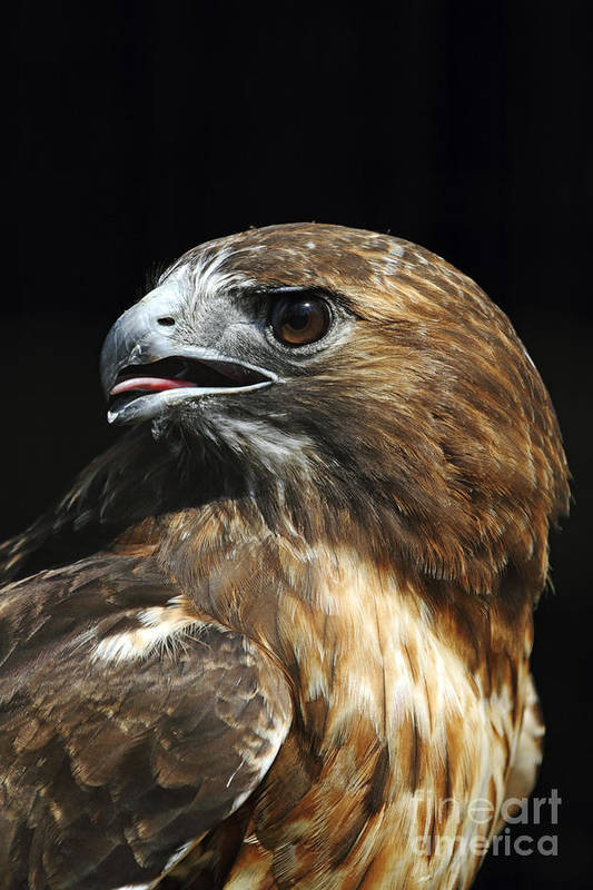 Red-tailed Hawk Art Print featuring the photograph Red-tailed Hawk Portrait by John Van Decker