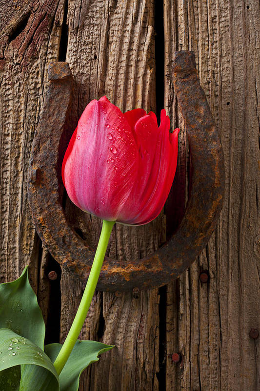 Red Art Print featuring the photograph Red Tulip And Horseshoe by Garry Gay