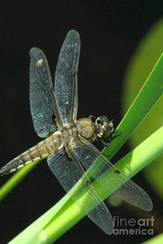 Dragonfly Art Print featuring the photograph Resting Place by Frank Townsley