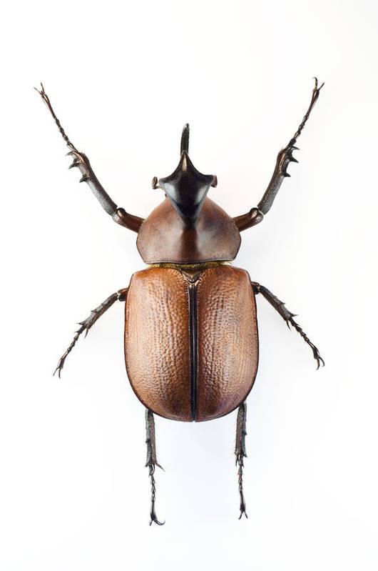 Golofa Pizarro Art Print featuring the photograph Rhinoceros Beetle by Lawrence Lawry