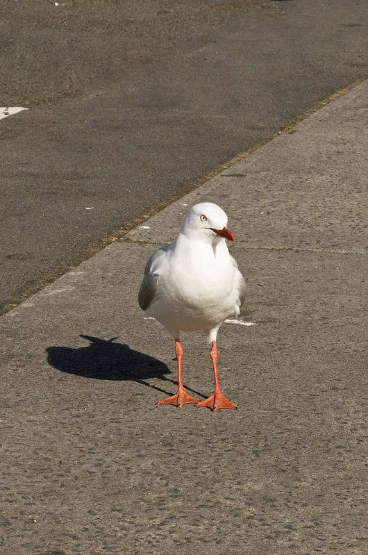 Animals Art Print featuring the photograph Seagull In The Summer Sun by Ulrich Schade