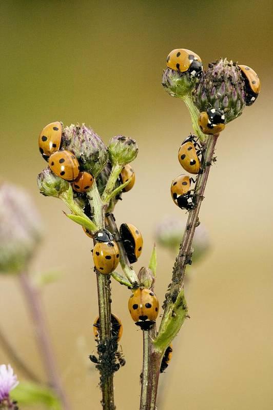 Seven-spot Ladybird Art Print featuring the photograph Seven-spot Ladybirds Eating Aphids by Bob Gibbons