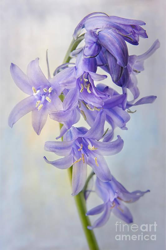 Bluebell Art Print featuring the photograph Single Bluebell by Ann Garrett