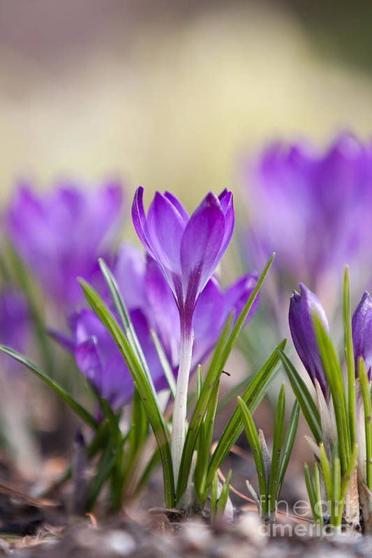Crocus Art Print featuring the photograph Springing Up by Nichole Peterson