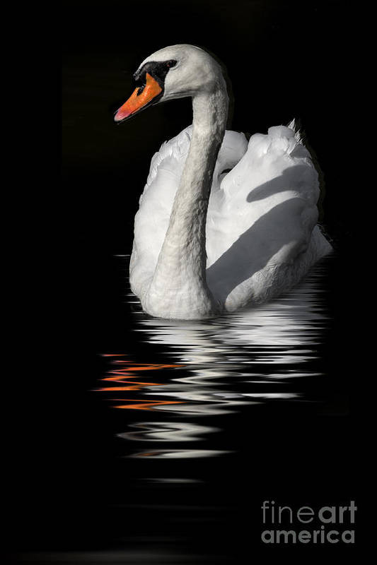 Swan Art Print featuring the photograph Swan Riflected In The Dark by Guido Nardacci