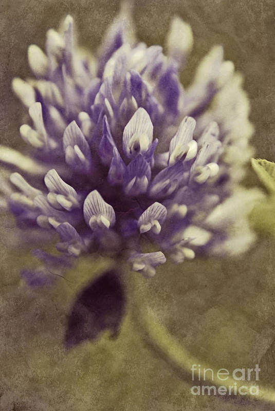 Clover Art Print featuring the photograph Trefle En Solo - S03bt04 by Variance Collections
