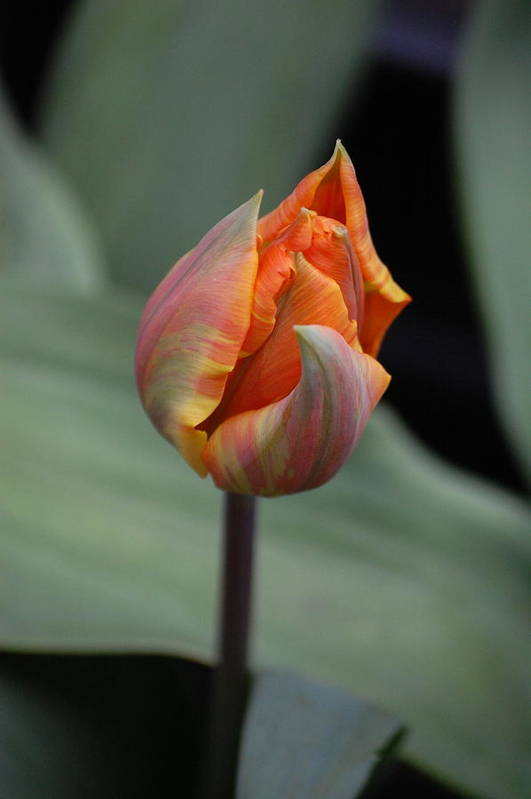 Dickon Art Print featuring the photograph Tulips - Orange by Dickon Thompson