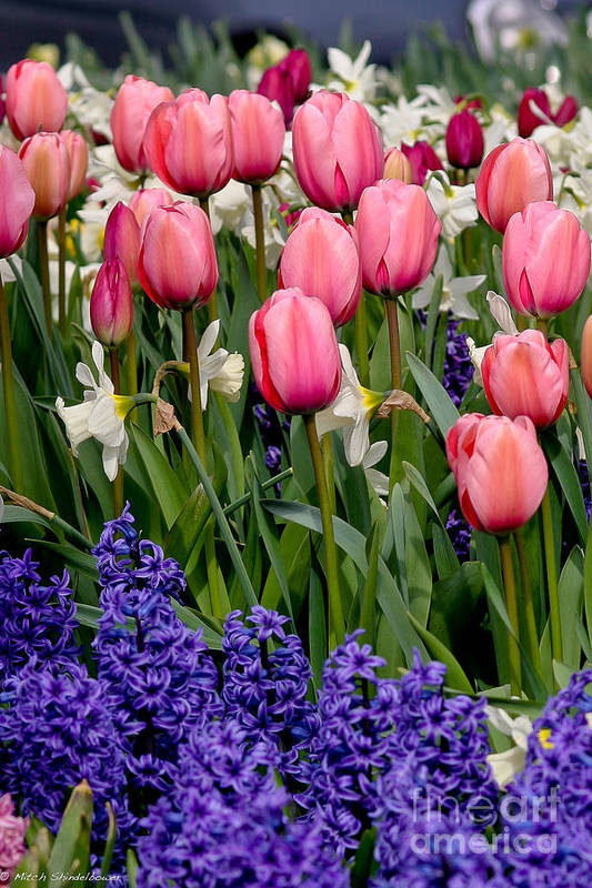Tulips Art Print featuring the photograph Tulips And Friends by Mitch Shindelbower