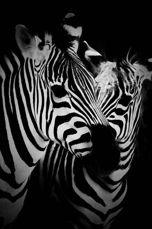 Africa Art Print featuring the photograph Two Zebras by C Thomas Willard