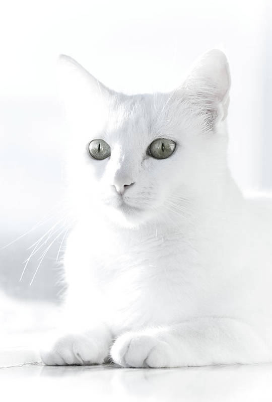 Vertical Art Print featuring the photograph White Cat by Vilhjalmur Ingi Vilhjalmsson