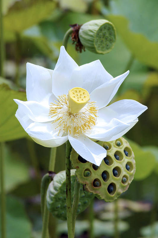 White Art Print featuring the photograph White Lotus Flower by Steeve Dubois