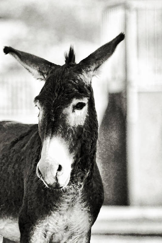 Nature Art Print featuring the photograph Wild Burro Portrait B And W by Linda Phelps