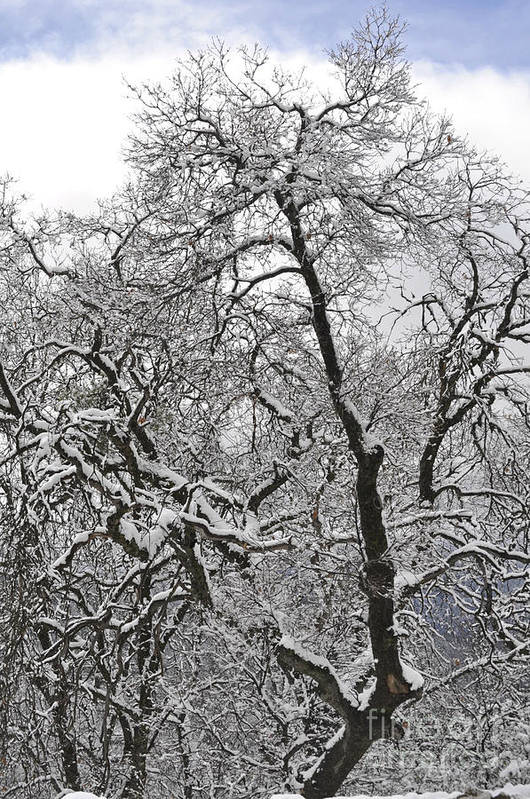 Trees Art Print featuring the photograph Winter Trees by Kim Frank