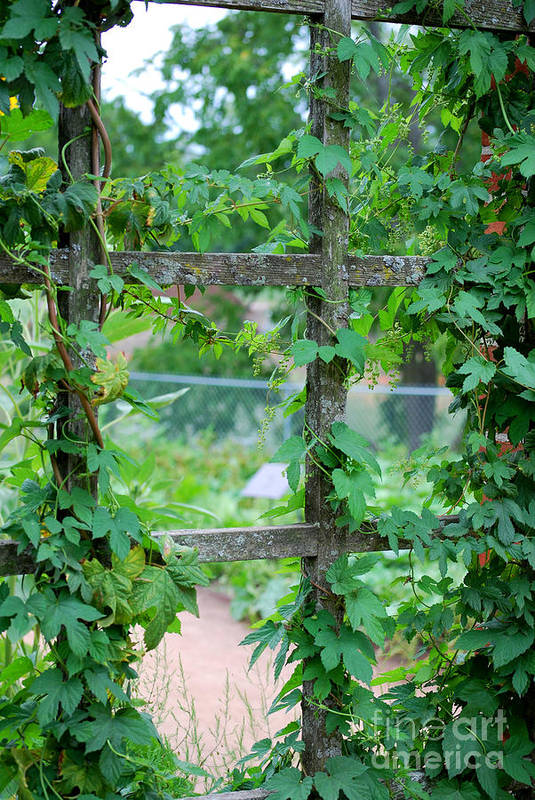 Trellis Print featuring the photograph Wooden Trellis And Vines by Nancy Mueller