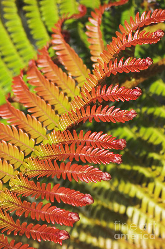 Abstract Art Print featuring the photograph Amaumau Fern Frond by Greg Vaughn - Printscapes