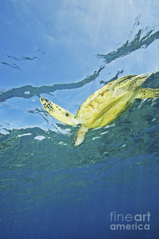 66-csm0245 Art Print featuring the photograph Hawaii, Green Sea Turtle by Ron Dahlquist - Printscapes