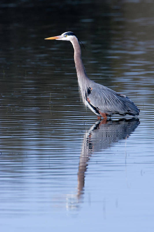 Great Blue Heron Art Print featuring the photograph Heron Reflection by Randall Ingalls