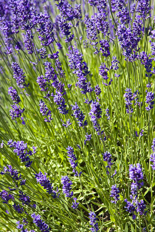 Farm Art Print featuring the photograph Lavender Scent by Eggers Photography
