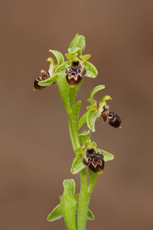 Ophrys Carmeli Art Print featuring the photograph Ophrys Carmeli by Yuri Peress