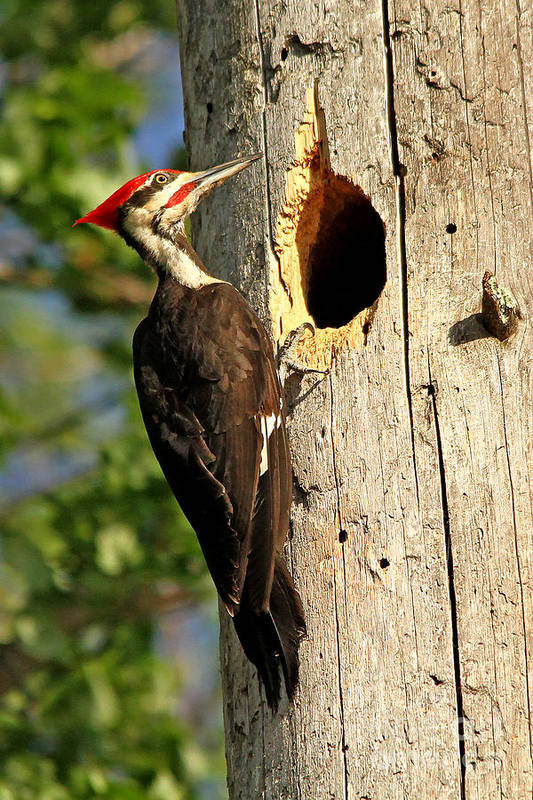 Woodpecker Art Print featuring the photograph Pileated #26 by James F Towne