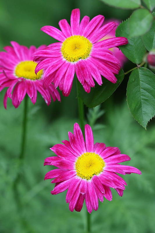 Daisy Art Print featuring the photograph Pretty In Pink by Paul Slebodnick