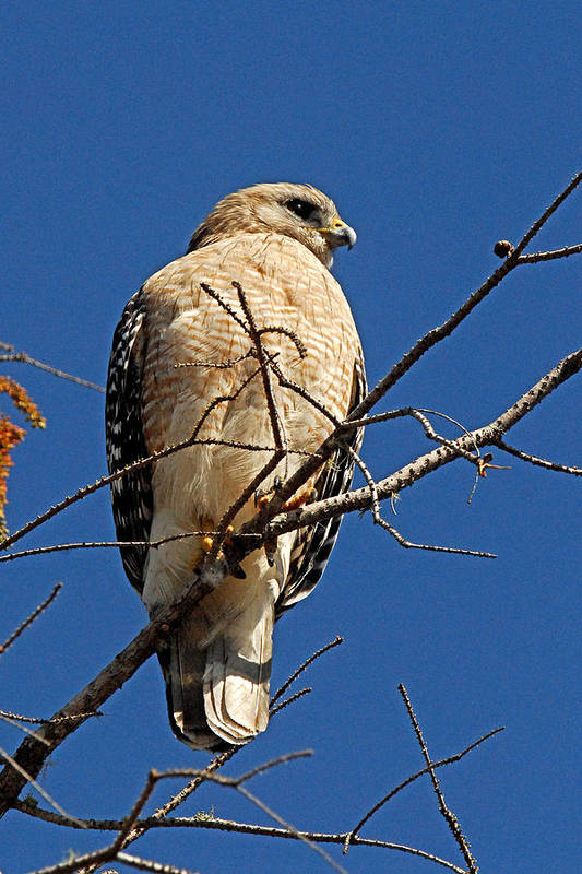 Hawk Art Print featuring the photograph Red Shouldered Hawk by Alan Lenk