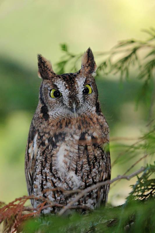 Western Screech Owl Art Print featuring the photograph Western Screech Owl by Pierre Leclerc Photography