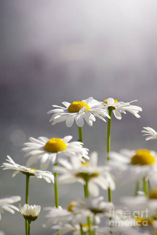 Agriculture Print featuring the photograph White Daisies by Carlos Caetano