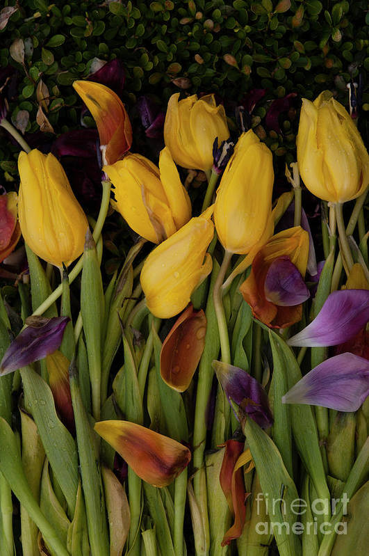 Tulips Art Print featuring the photograph Tulips Wilting by Jim Corwin