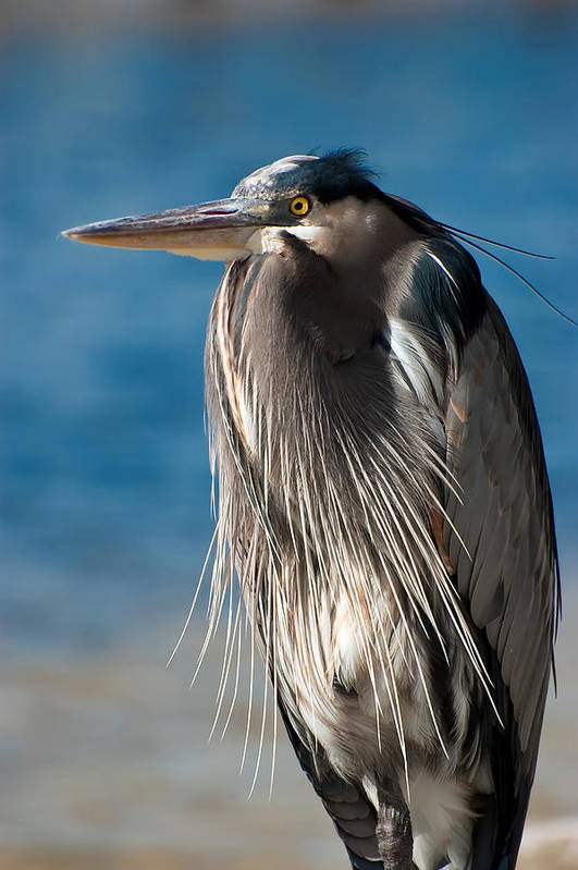 Bird Art Print featuring the photograph Great Blue Heron by Rich Leighton