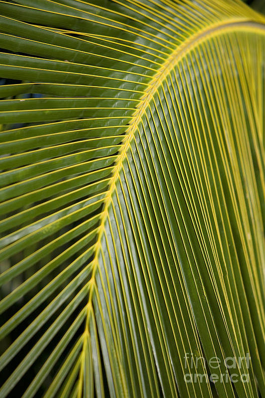 Angle Art Print featuring the photograph Green Palm Leaf by Ron Dahlquist - Printscapes