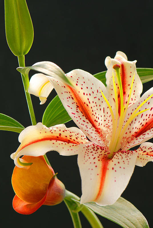 Lily Art Print featuring the photograph Lily by Dennis Hammer