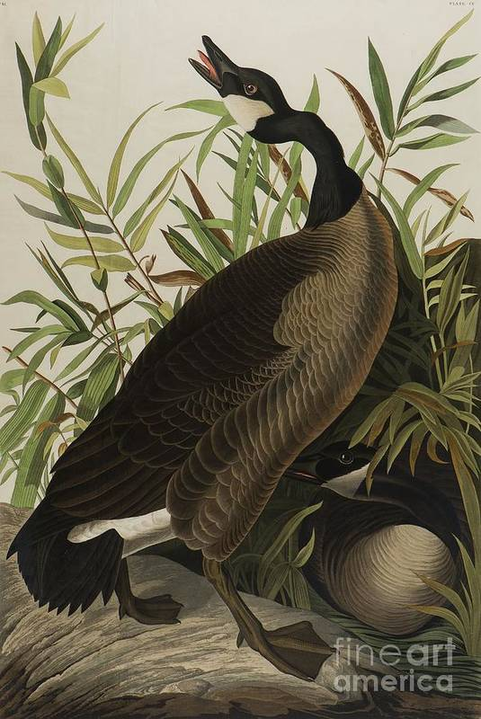Audubon Art Print featuring the painting Canada Goose 3 by John James Audubon