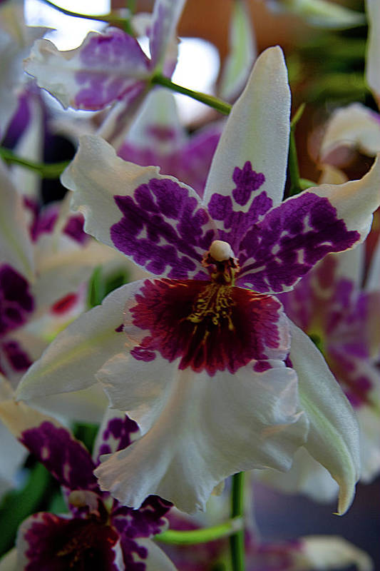 Orchid Art Print featuring the photograph Orchid by Laurie Prentice