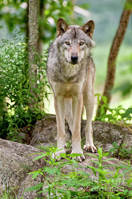 Michael Cummings Art Print featuring the photograph Timber Wolf by Michael Cummings