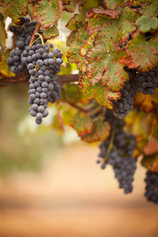 Agriculture Art Print featuring the photograph Grapes On The Vine by Andy Dean