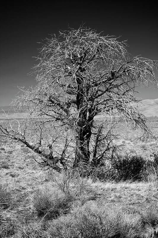 Alamosa Art Print featuring the photograph A Tree In The Dry Land by Hideaki Sakurai