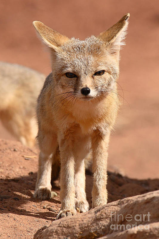 Fox Art Print featuring the photograph Adult Kit Fox Ears And All by Max Allen