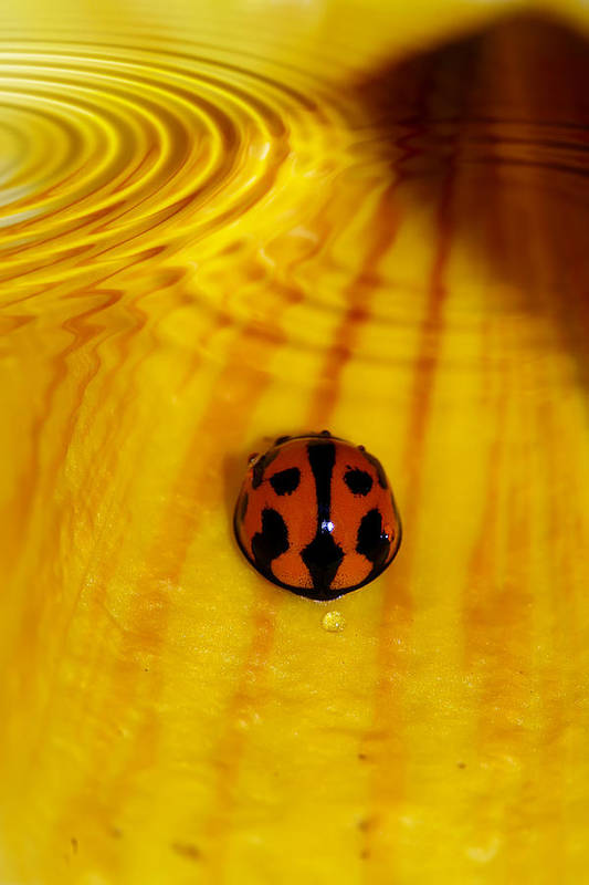 Ladybeetle Art Print featuring the photograph After The Rain by Lesley Smitheringale