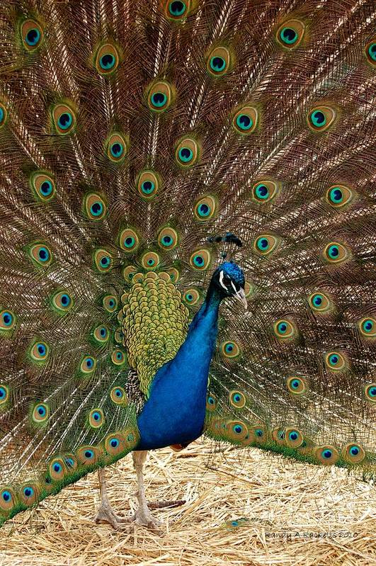 Peacock Art Print featuring the photograph All Eyes by Randy Ricketts