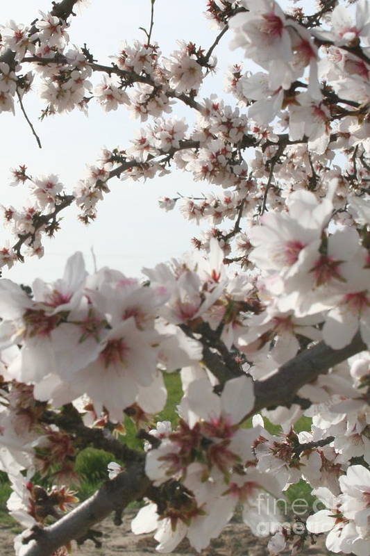 Art Print featuring the painting Almond Spring Blossoms by Ellen Young
