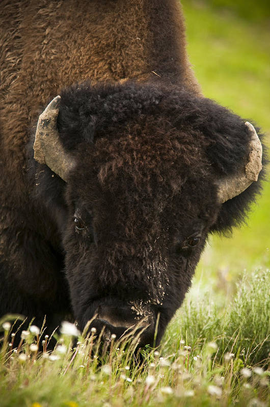 Bison Art Print featuring the photograph American Bison by Chad Davis