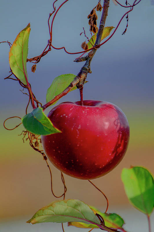 Apple Art Print featuring the photograph Apple On A Tree by Janet Argenta