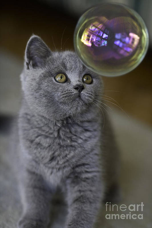 Cat Art Print featuring the photograph Archie With Bubble by Sheila Smart Fine Art Photography