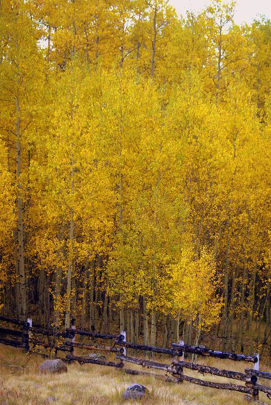 Fall Colors Art Print featuring the photograph Aspen Fall 2 by Marty Koch