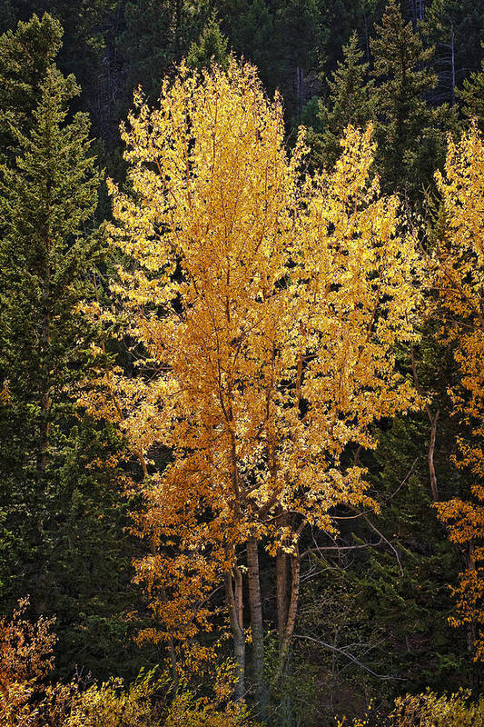 Aspen Print featuring the photograph Aspen Gold by Kelley King