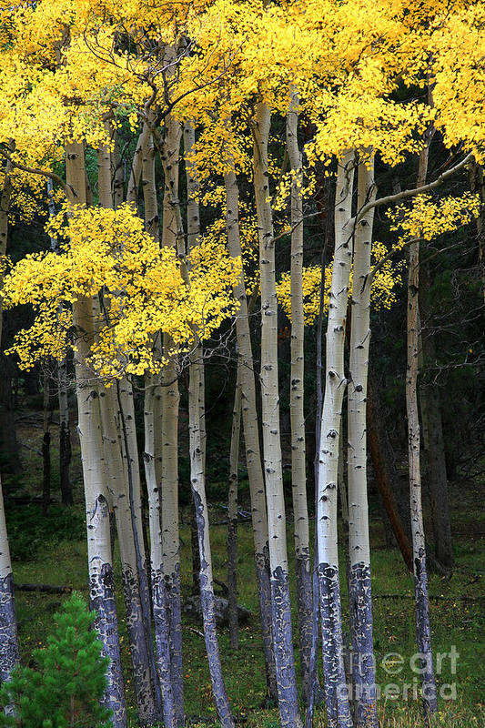 Aspens Art Print featuring the photograph Aspen Stand by Timothy Johnson